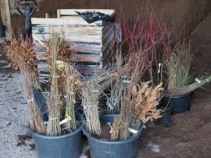Bare root trees for potting
