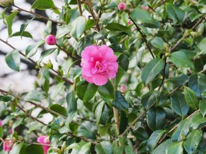 Camellia x williamsii 'George Blandford'