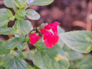 Salvia 'Royal Bumble'