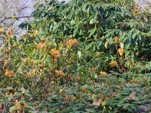 yellowish deciduous azalea