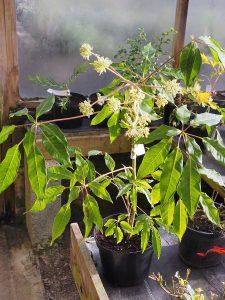 Schefflera gracilis