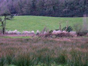 pampas grass flowers