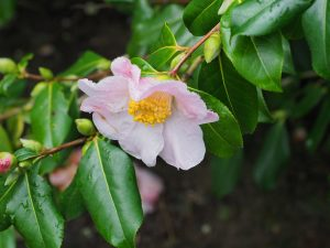 Camellia x williamsii 'J C Williams'