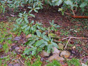 Rhododendron auklandii