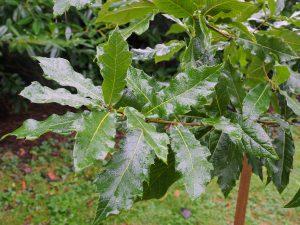 Quercus rhysophylla 'Maya'