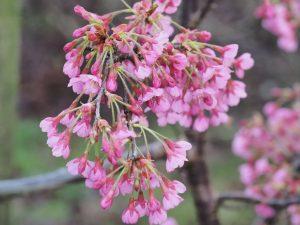Prunus x incam 'Shosar'