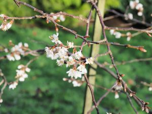 Prunus incisa 'The Bride'