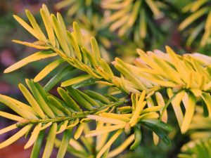 Cephalotaxus harringtonia var koreana