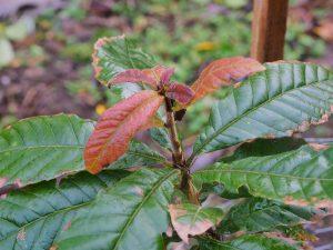 Quercus insigne