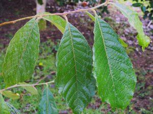 Alniphyllum aff eberhardtii