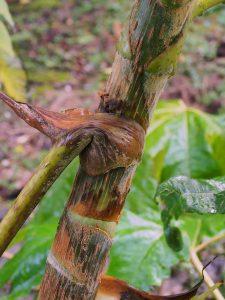 Tetrapanax papyifera 'Rex'