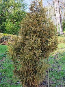 Athrotaxus laxifolia