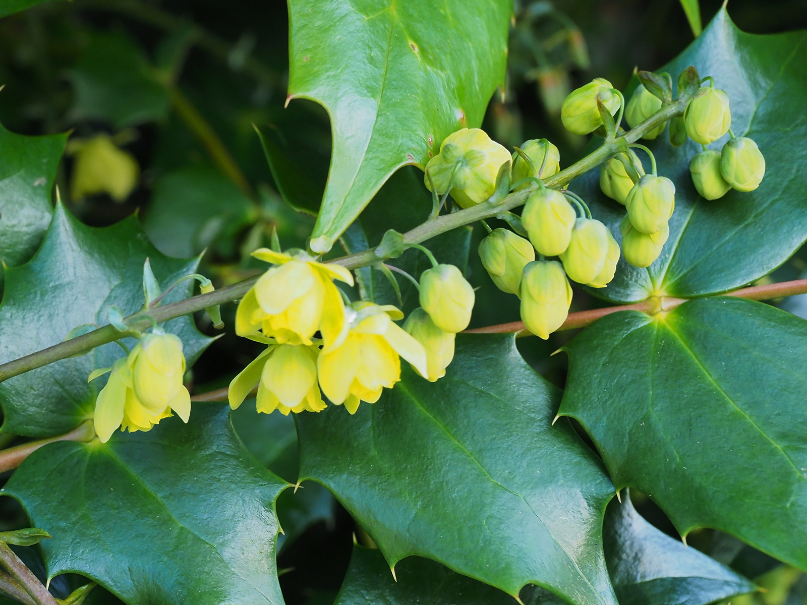 7th january the garden diary for Mahonia japonica