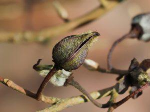 S. sinensis
