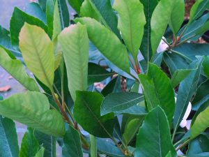 Eriobotrya 'Coppertone'