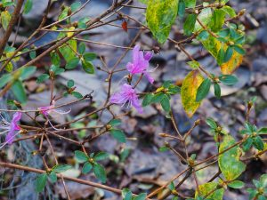 Rhododendron kiysosumense