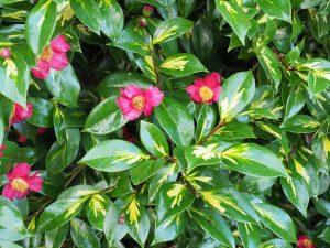 Camellia 'Reigyoku'