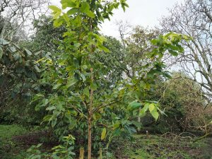 Acer albopurpurascens
