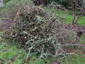 oak limb