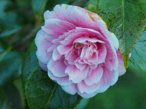 Camellia 'Duchess Decazes'