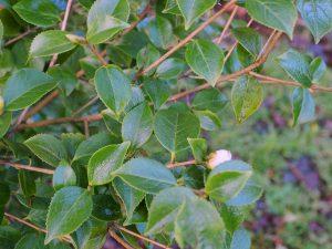 Camellia grijsii