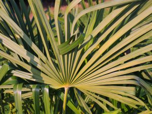 Trachycarpus fortunei with huge fan leaves