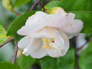 Camellia (hybrid) 'Spring Mist'