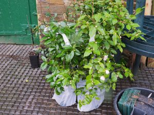 camellias for planting out from Trehane Nursery