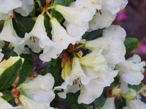 Rhododendron 'Golden Oriole Talavera'