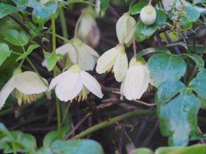 Clematis cirrhosa var balerica