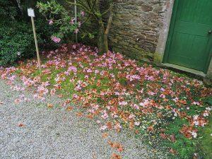 darker pink Camellia saluenensis