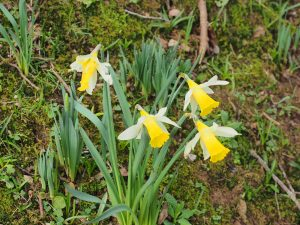 'wild' daffodils