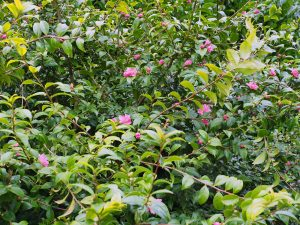 Camellia 'Paradise Glow'