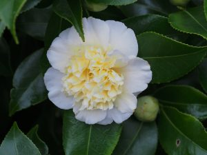 Camellia x williamsii 'Jurys Yellow'