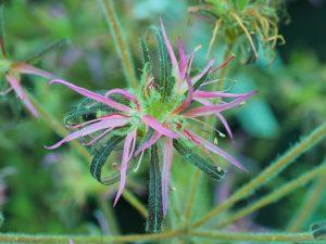 Azalea stenopetalum 'Linearifolium'