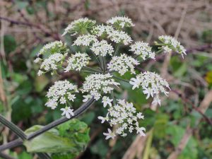 'cow parsley'