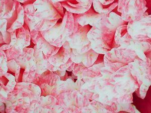 Camellia 'Sundae'