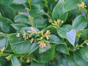 Sarcocca ruscifolia