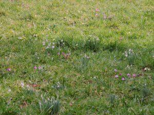 cyclamen, primroses and snowdrops