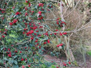 Cotoneaster franchettii