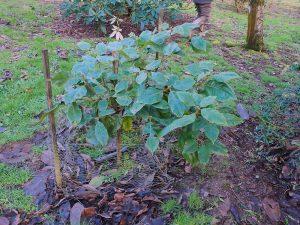 Quercus uvarifolius