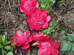 Camellia 'Bobs Tinsie'