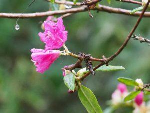 Rhododendron 'Ostara'