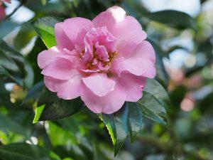 Camellia 'Debutante'