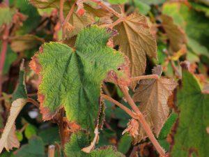 Rubus formosensis