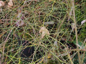 Rubus squarrosus