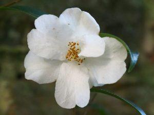 C. cuspidata