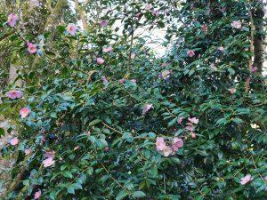 Camellia saluenensis 'Isadora'