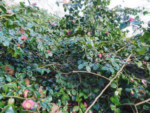 Camellia 'Hiraethlyn'