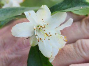 Camellia lutchuenense
